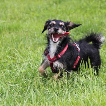 Dog running - Tongue, Canon EOS 600D, Tamron 18-250mm f/3.5-6.3 Di II LD Aspherical [IF] Macro