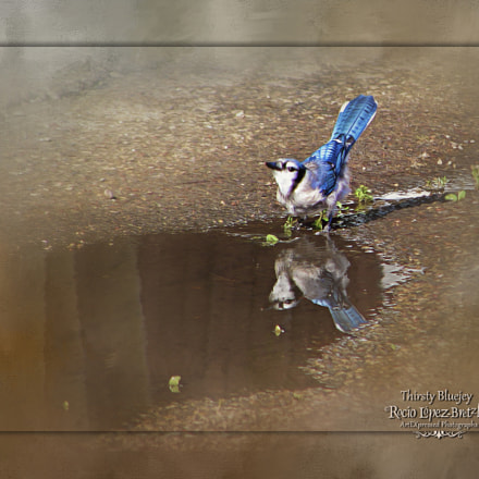 Thristy Bluejay, Sony DSC-H1