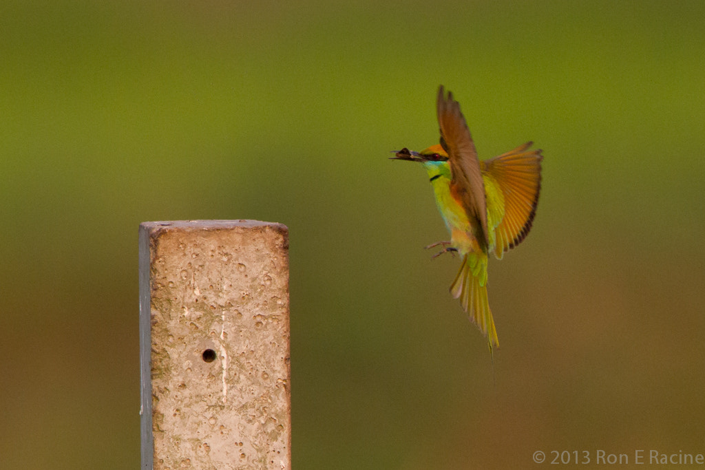 Photograph Bee-Eater With Prey by Ron E Racine on 500px