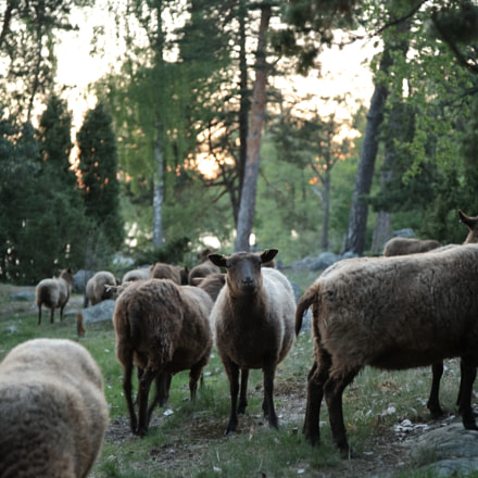 Sheeps, Canon EOS 5D, Canon EF 24-105mm f/4L IS