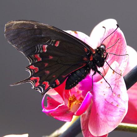 Exotic butterfly, RICOH PENTAX K-70, Sigma 18-300mm F3.5-6.3 DC Macro HSM