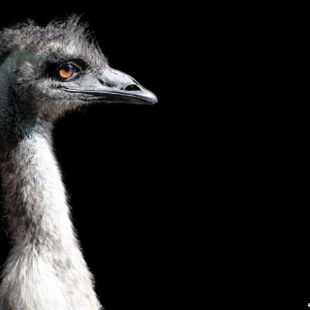 Emu, Canon EOS-1D X MARK II, Canon EF 300mm f/2.8L IS II USM + 1.4x