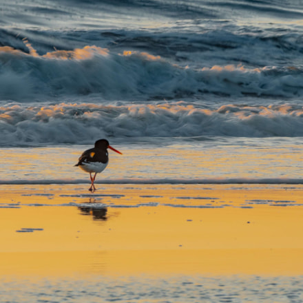 Oystercatchers at the golden, Nikon D500, AF-S Nikkor 200-500mm f/5.6E ED VR