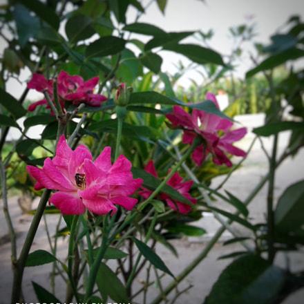 Rose flower, Samsung Galaxy J1 Ace