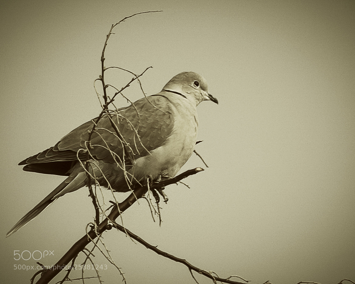 Photograph Dove by Brandon Downing on 500px