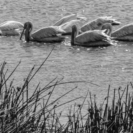 Pelicans, Sony DSC-HX1