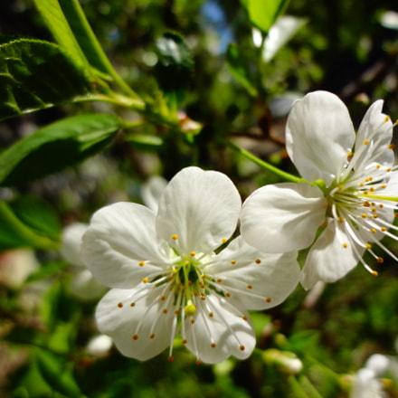 Cherry flowers, Sony DSC-WX50