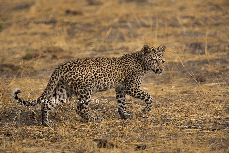 Photograph Young Leopard by Henrik Nilsson on 500px