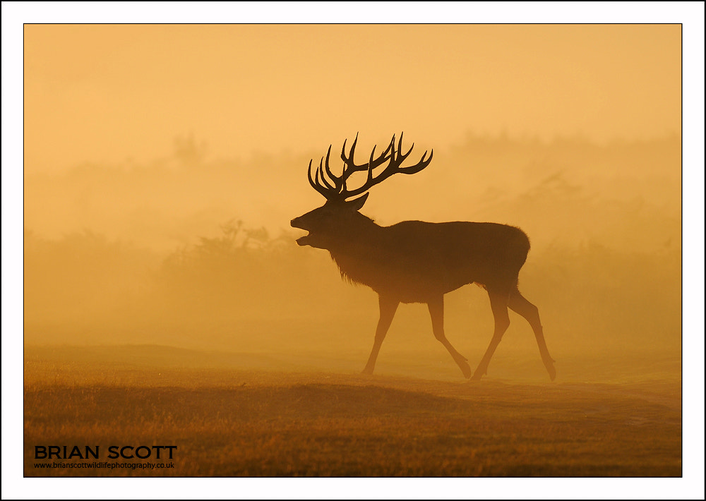 Photograph Misty Stag by Brian Scott on 500px