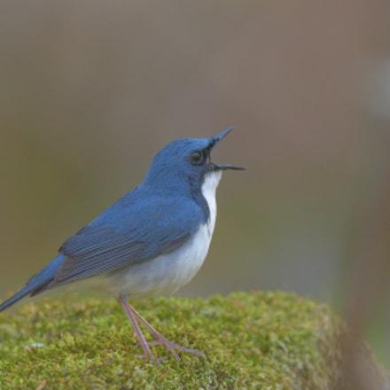 Siberian blue robin, Nikon D850