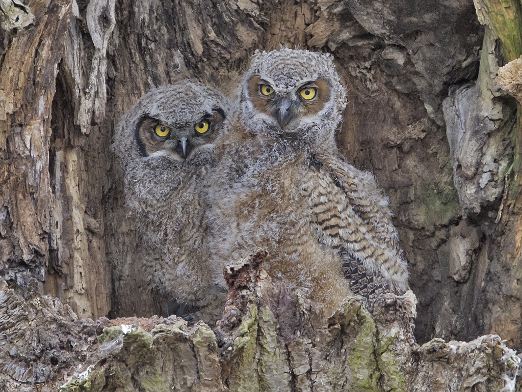 Photograph Great Horned Owlets in Nest by Duke Coonrad on 500px