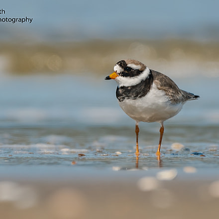 Ringed plover at the, Nikon D500, AF-S Nikkor 200-500mm f/5.6E ED VR