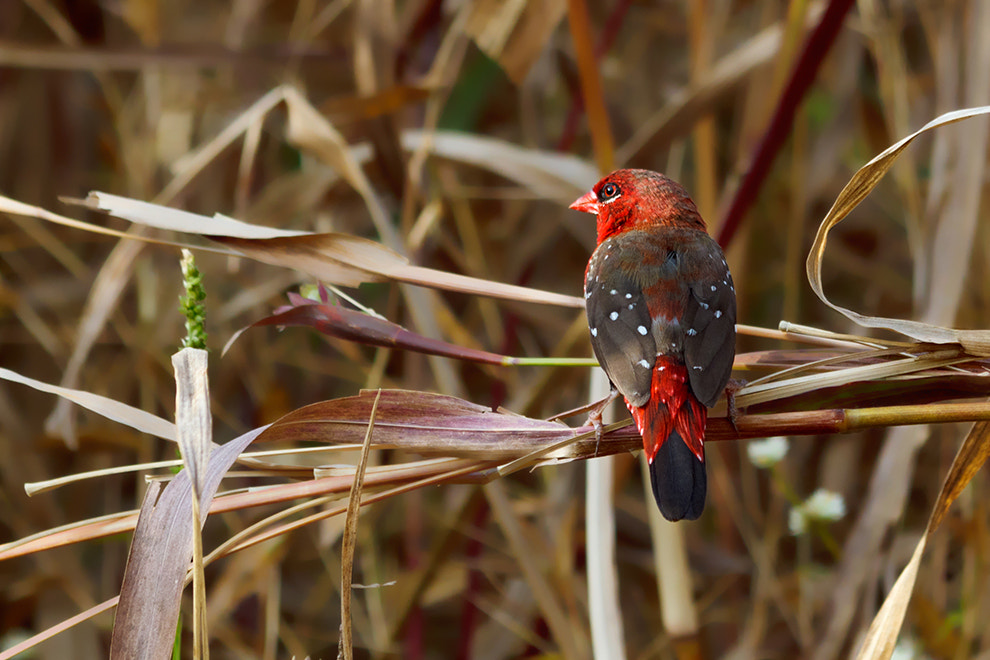 Photograph Red Avadavat... by Amod Sane on 500px