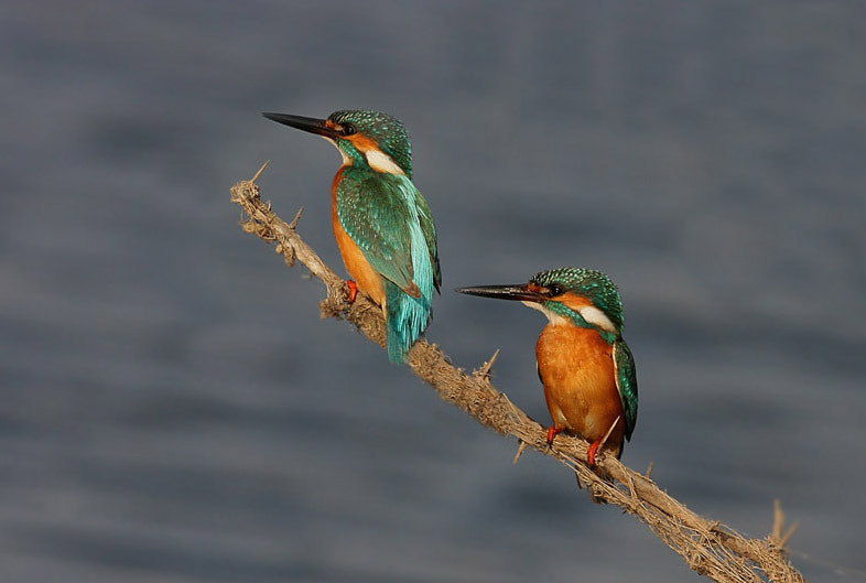 Photograph Kingfisher Pair by Saurabh Desai on 500px
