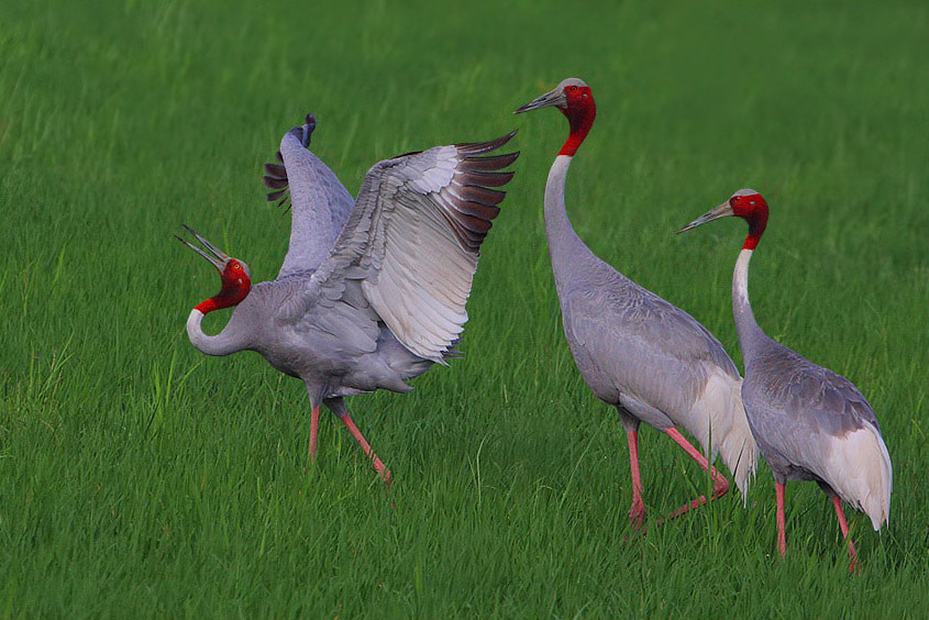 Photograph Saras Crane Dance  by Saurabh Desai on 500px