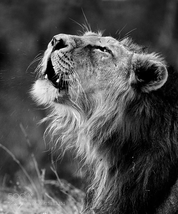Photograph The Roaring Lion by Saurabh Desai on 500px