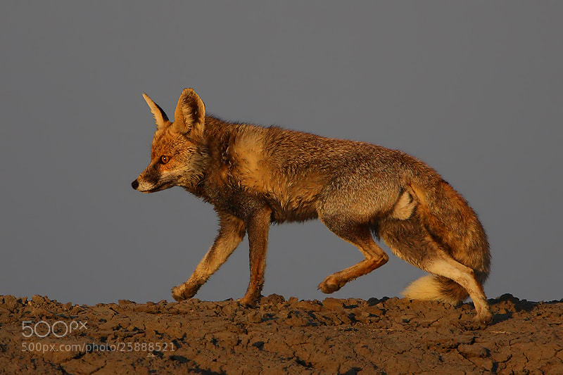 Photograph Desert Fox from Little Runn of Kutch by Saurabh Desai on 500px