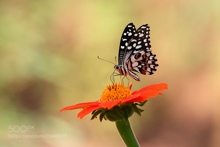 Photograph Lime Butterfly on Flower by Saurabh Desai on 500px