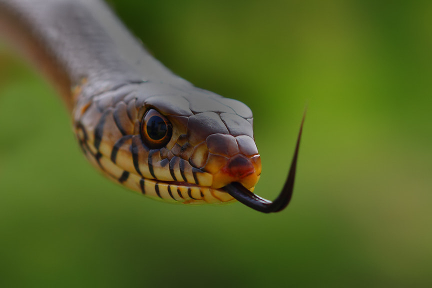 Photograph The Rat Snake by Saurabh Desai on 500px