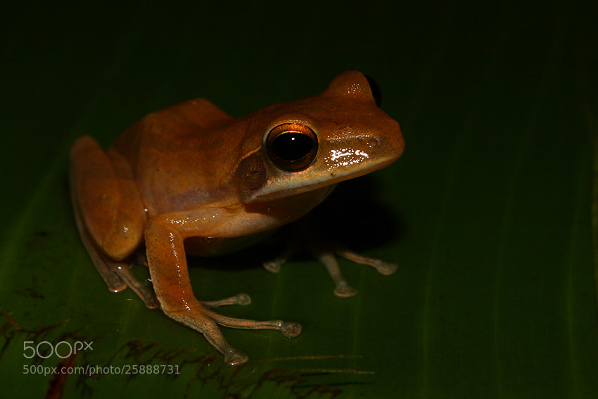 Photograph Indian Tree Frog by Saurabh Desai on 500px