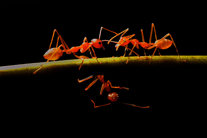 Photograph The Fire Ants Fight by Saurabh Desai on 500px