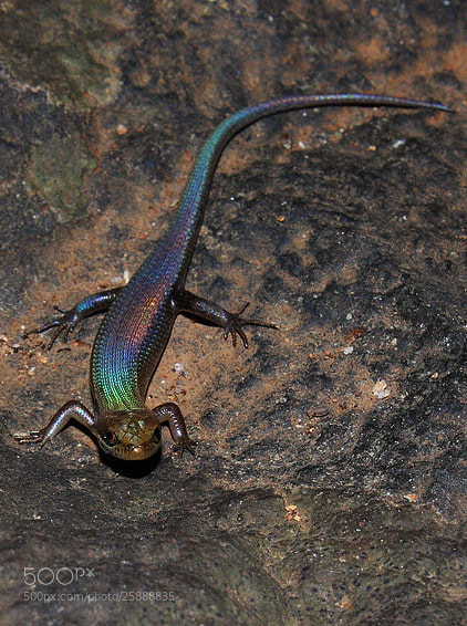 Photograph The Snake Skink  by Saurabh Desai on 500px