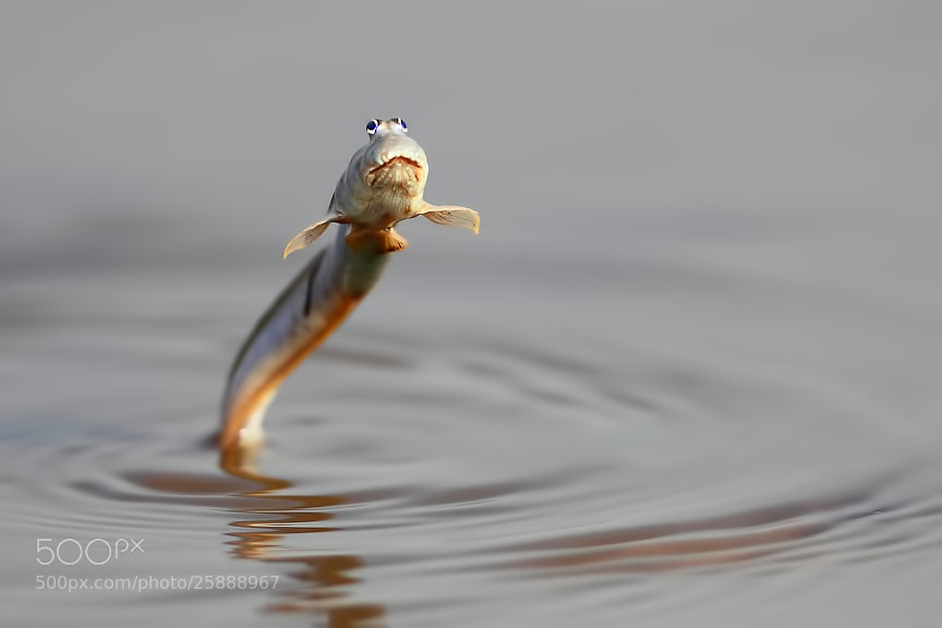 Photograph Mud-skipper Jump by Saurabh Desai on 500px