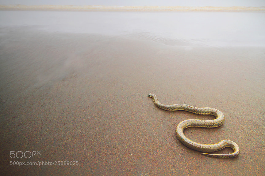 Photograph Dog-faced Water Snake by Saurabh Desai on 500px