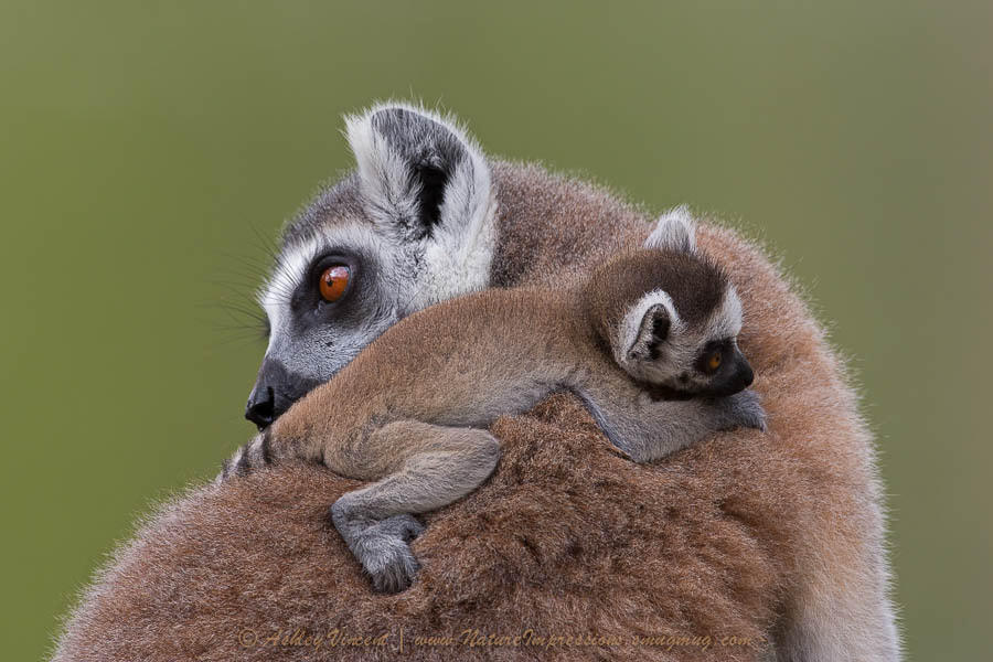 Photograph Loving Lemurs by Ashley Vincent on 500px