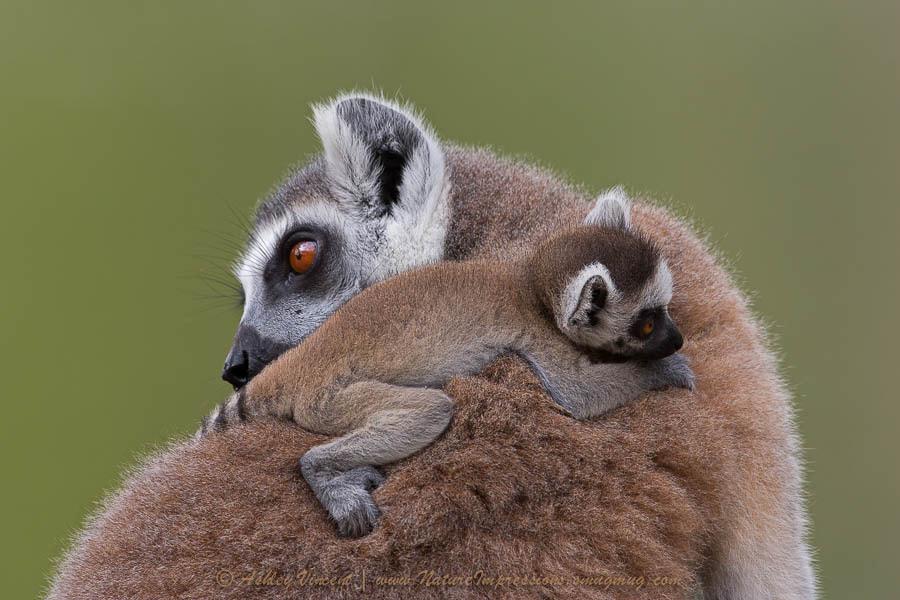 Loving Lemurs