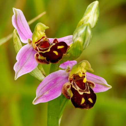 wild Orchid, Canon EOS 100D, Canon EF 300mm f/4L IS