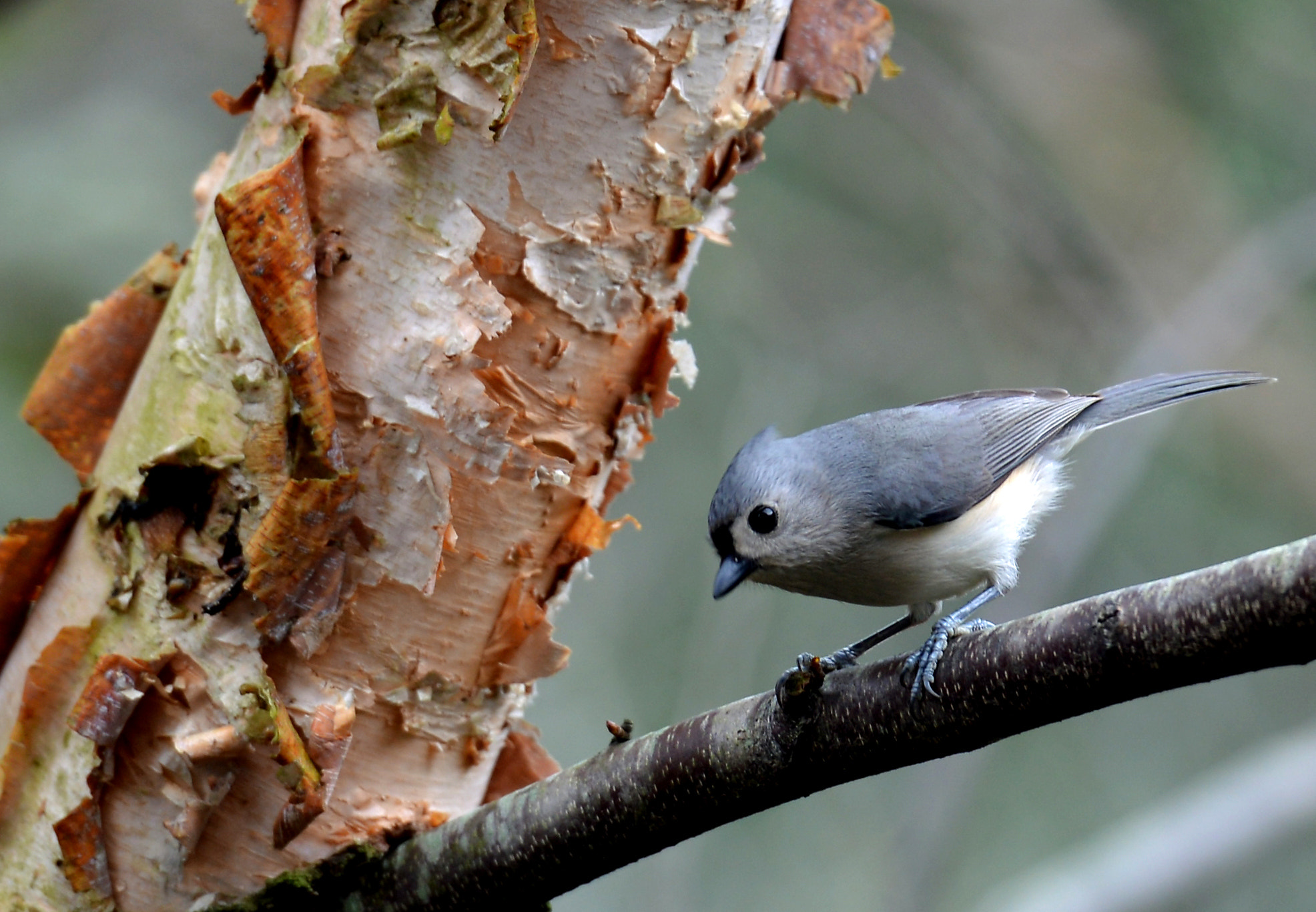 Photograph Tufted Titmouse by Mark Luftig on 500px