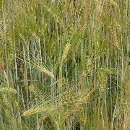 wheat field, Panasonic DMC-TZ3