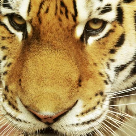 Siberian Tiger, Nikon D90, Sigma 70-200mm F2.8 EX APO DG Macro HSM II