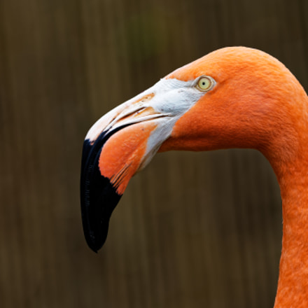 Flamingo Profile, Nikon D500, AF-S VR Zoom-Nikkor 70-200mm f/2.8G IF-ED