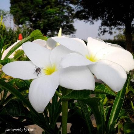 white flower, Samsung Galaxy J1 Ace