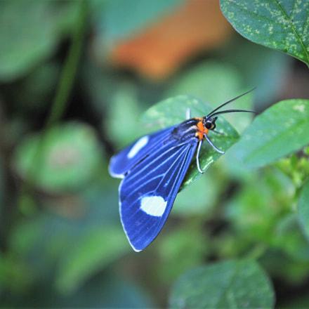 Blue Butterfly, Nikon D3000, AF-S DX VR Zoom-Nikkor 18-55mm f/3.5-5.6G