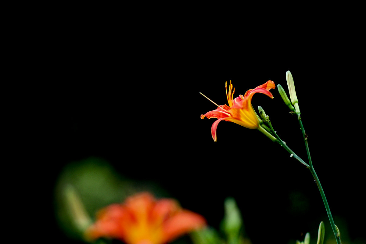 Photograph Day lily by LEE INHWAN on 500px