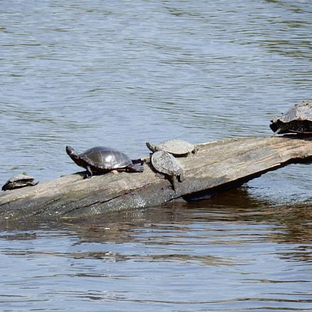 Turtle family, Nikon COOLPIX S9700