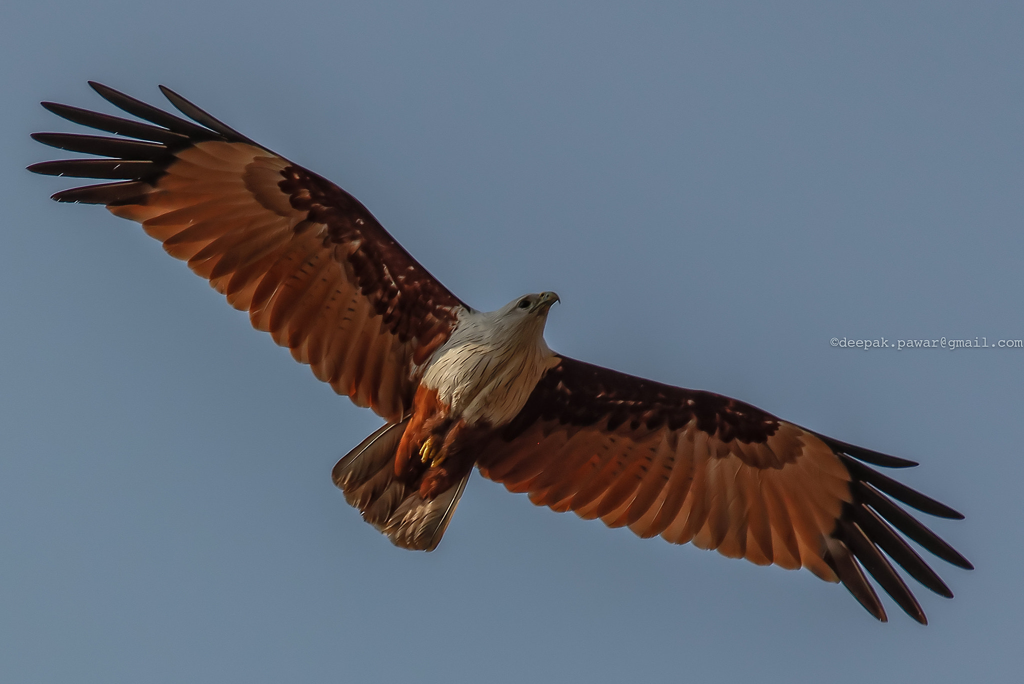 Photograph Brahminy Kite by Deepak Pawar on 500px