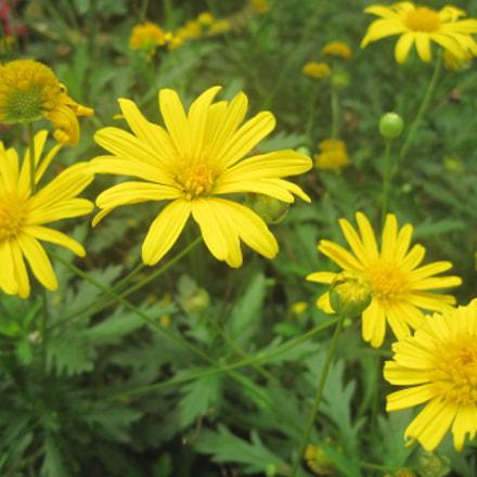 Chrysanthemum, Canon DIGITAL IXUS 95 IS