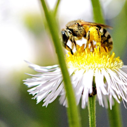 Give it to me..bee, Nikon D7100, Tamron SP 90mm f/2.8 Di VC USD Macro 1:1 (F004)