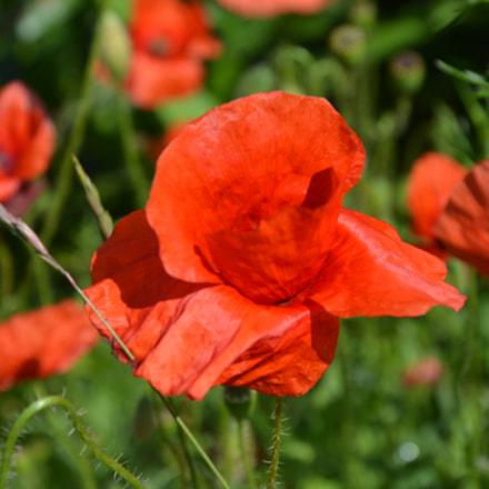 Poppies, Nikon D7100, AF-S DX VR Zoom-Nikkor 18-105mm f/3.5-5.6G ED