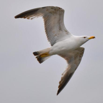 Seagull, Nikon D810