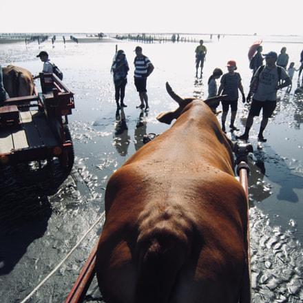 昔日的海牛是載運蚵農養殖的鮮蚵,而今海牛角色未變,載運的對象是外地遊客,遊客慕名來看海牛,海牛的工作不減反增, Canon IXUS 210