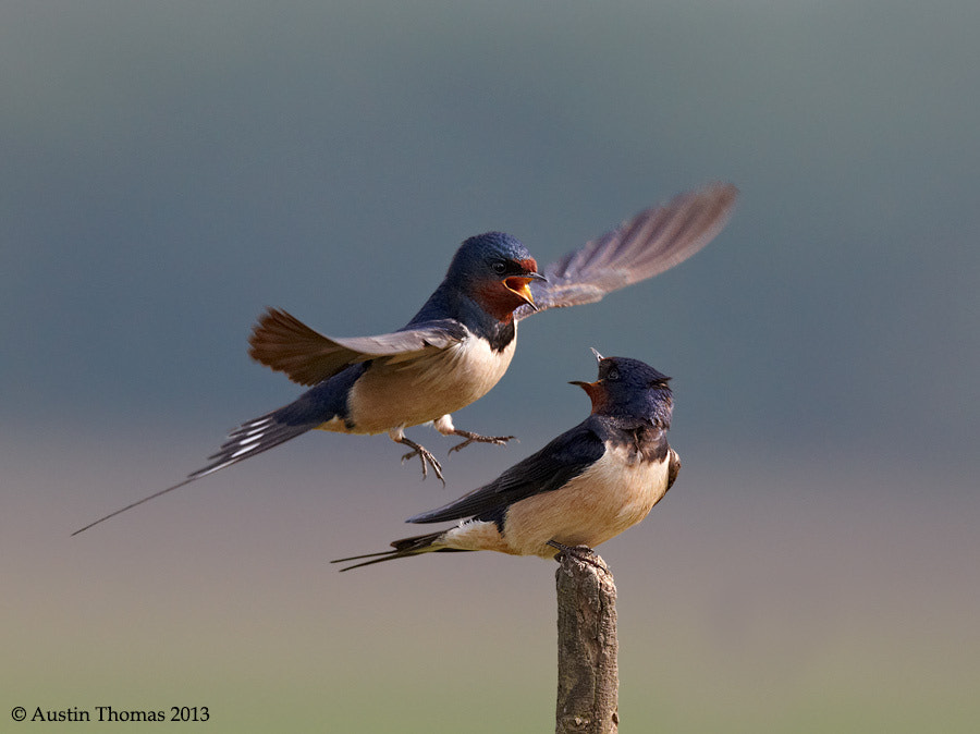 Swallows interacting...