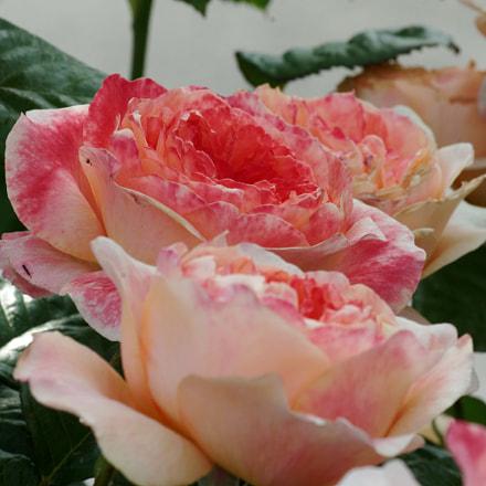 printemps fleuri, RICOH PENTAX K-3, HD PENTAX-DA 55-300mm F4-5.8 ED WR