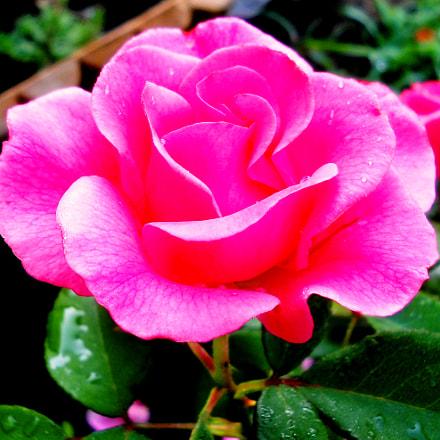 Rose, Nikon COOLPIX L21