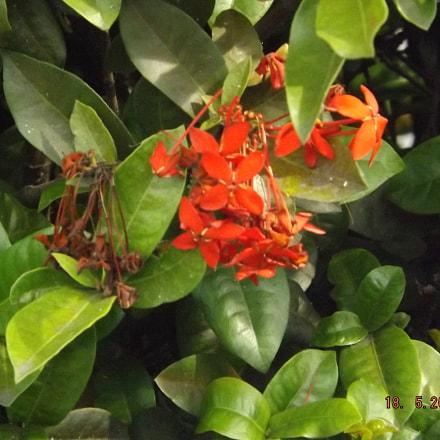 Flower, Fujifilm FinePix SL310