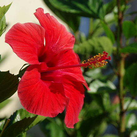 Hibiscus, Pentax K200D